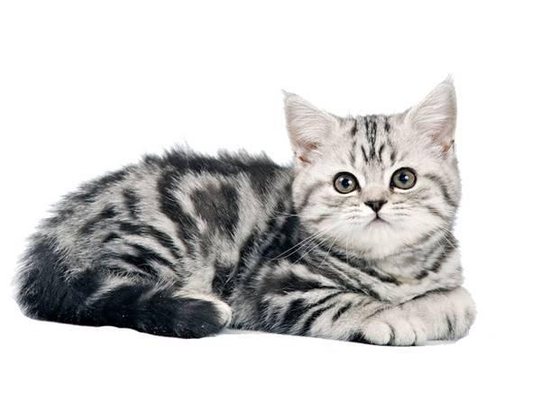 Порода котёнка из рекламы «вискас»: фото и видео | сайт «мурло»