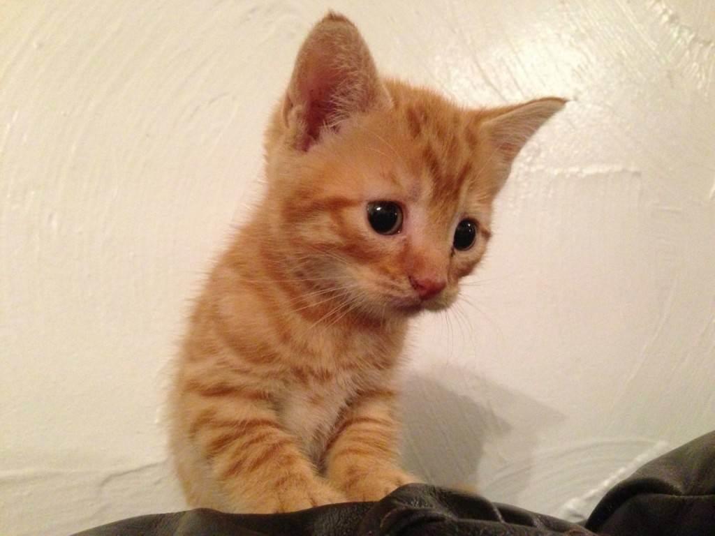 Как назвать рыжего кота и кошку? список оригинальных и красивых имен для котят-мальчиков и девочек рыжего цвета