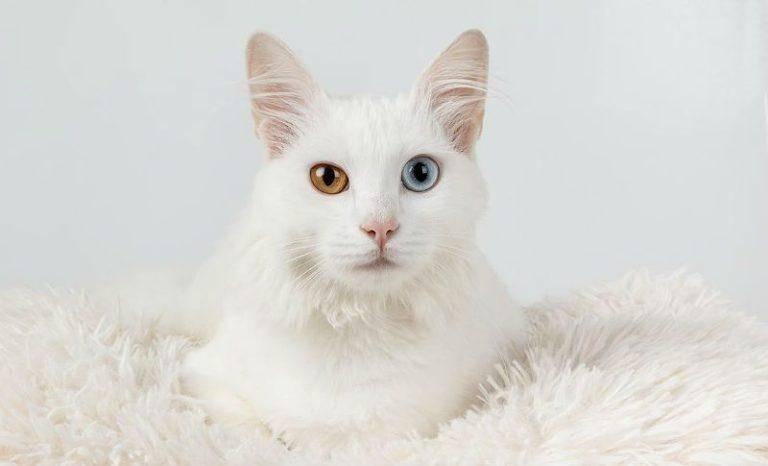 Кошки с разными глазами: породы разноглазых котов, причина гетерохромии