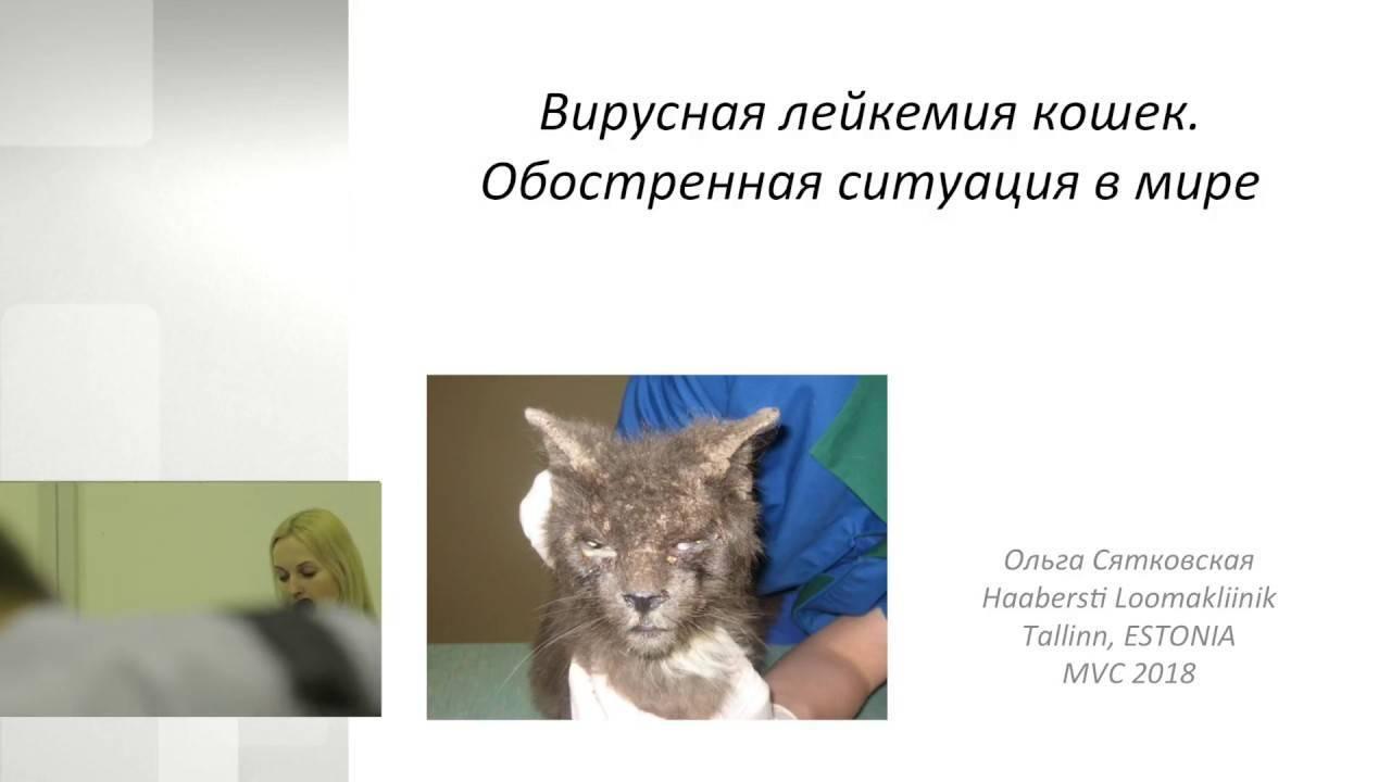 Лейкоз у кошек: симптомы, диагностика, лечение вирусной болезни лейкемии