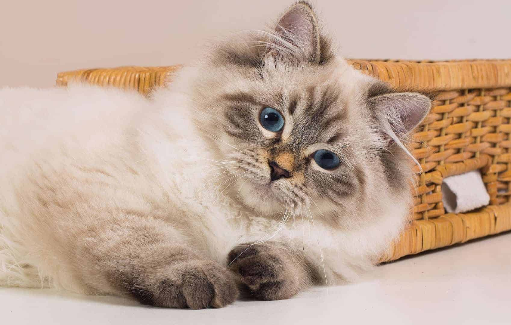 Невская маскарадная — обзор породы, стандарты, требования по уходу и содержанию кошки (155 фото)