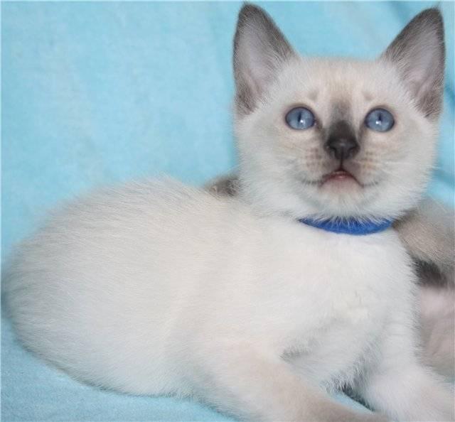 Табби — окрас кошек