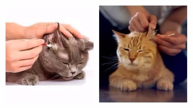 Как чистить уши кошке в домашних условиях если она сопротивляется