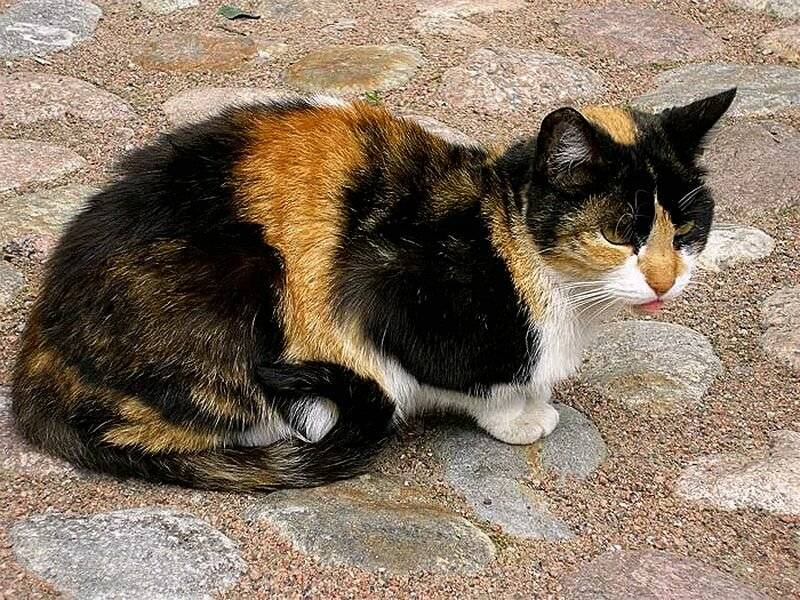 Бывают ли трехцветные коты: как часто можно встретить, какие породы, генетика