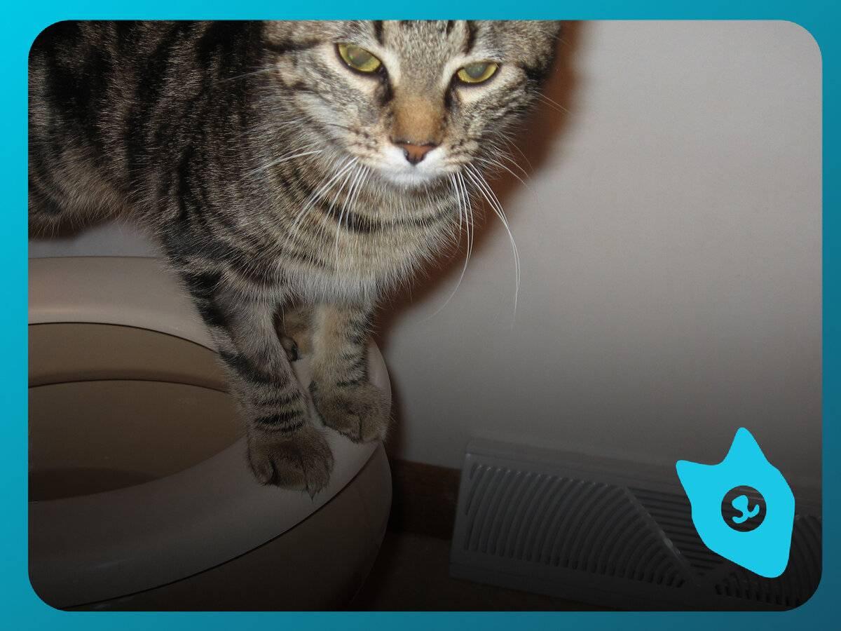Причины, по которым котенок не ходит в туалет по большому