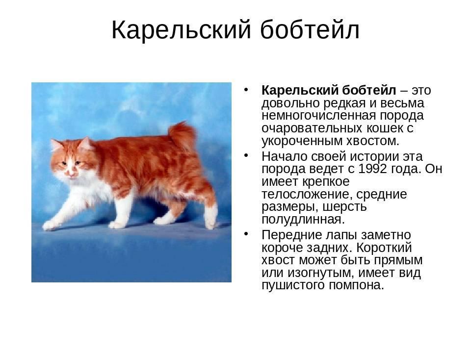 Курильский бобтейл: фото, описание породы, характер и отзывы