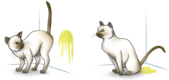 Метят ли кошки территорию: причины, признаки, как отучить