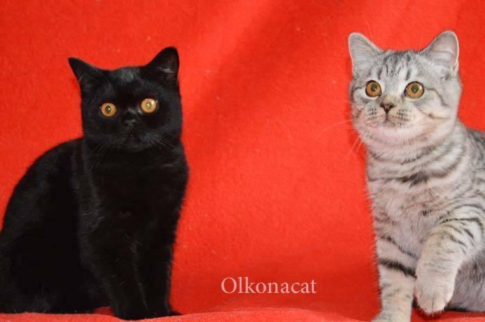 Шотландская прямоухая кошка (скоттиш-страйт): добрый и верный пушистый друг