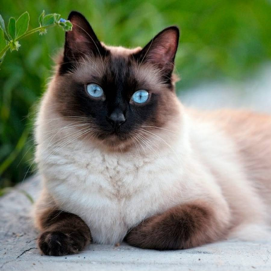Фото сиамской длинношерстной кошки