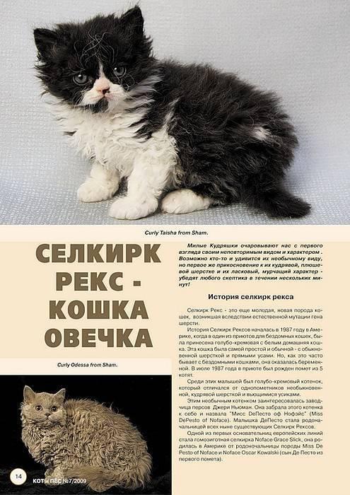 Селкирк-рекс