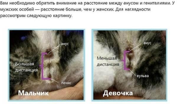 Как отличить кота от кошки и определить пол котенка: как различают мальчиков и девочек в маленьком и взрослом возрасте, фото