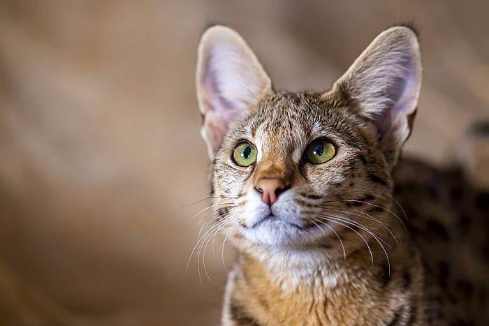 Саванна порода кошек
