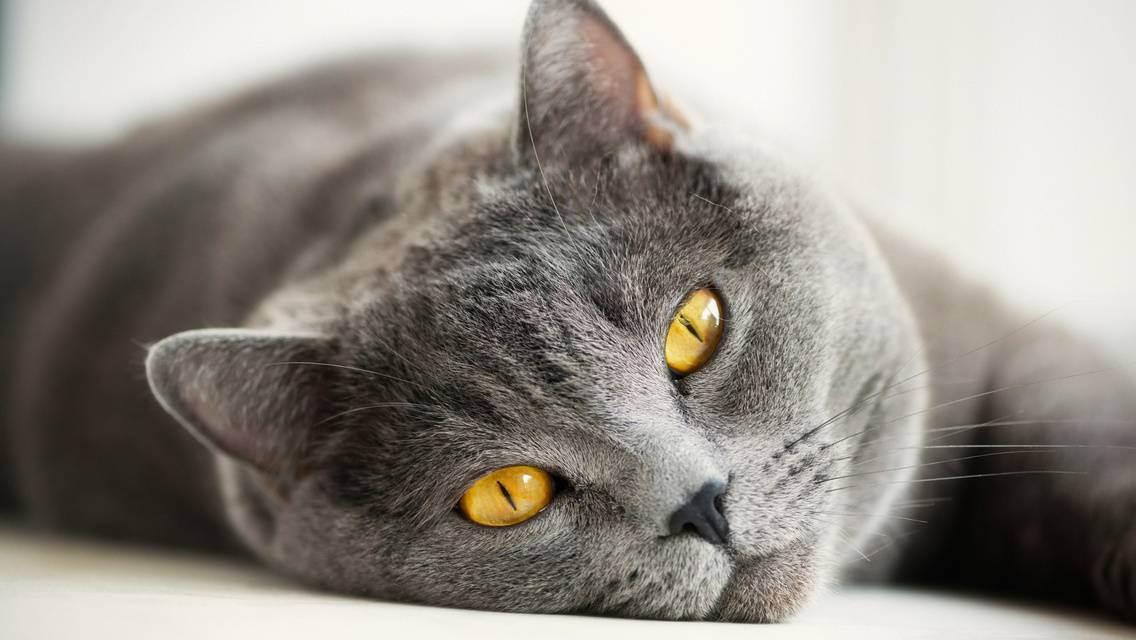 Чем кормить британских кошек