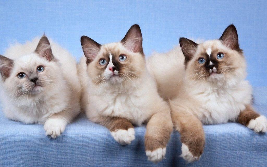 Какие породы кошек считаются самыми спокойными