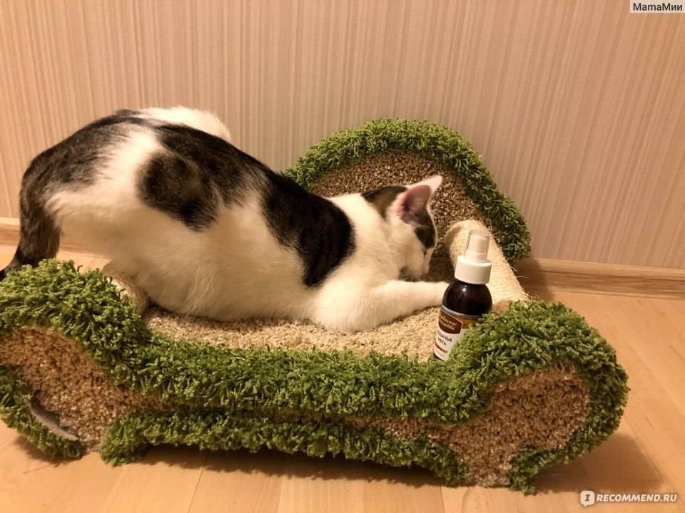Как выращивать кошачью мяту: для чего она нужна, как использовать котовник