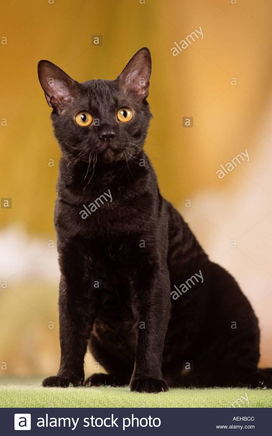 Описание и особенности содержания кошек породы немецкий рекс, основы ухода