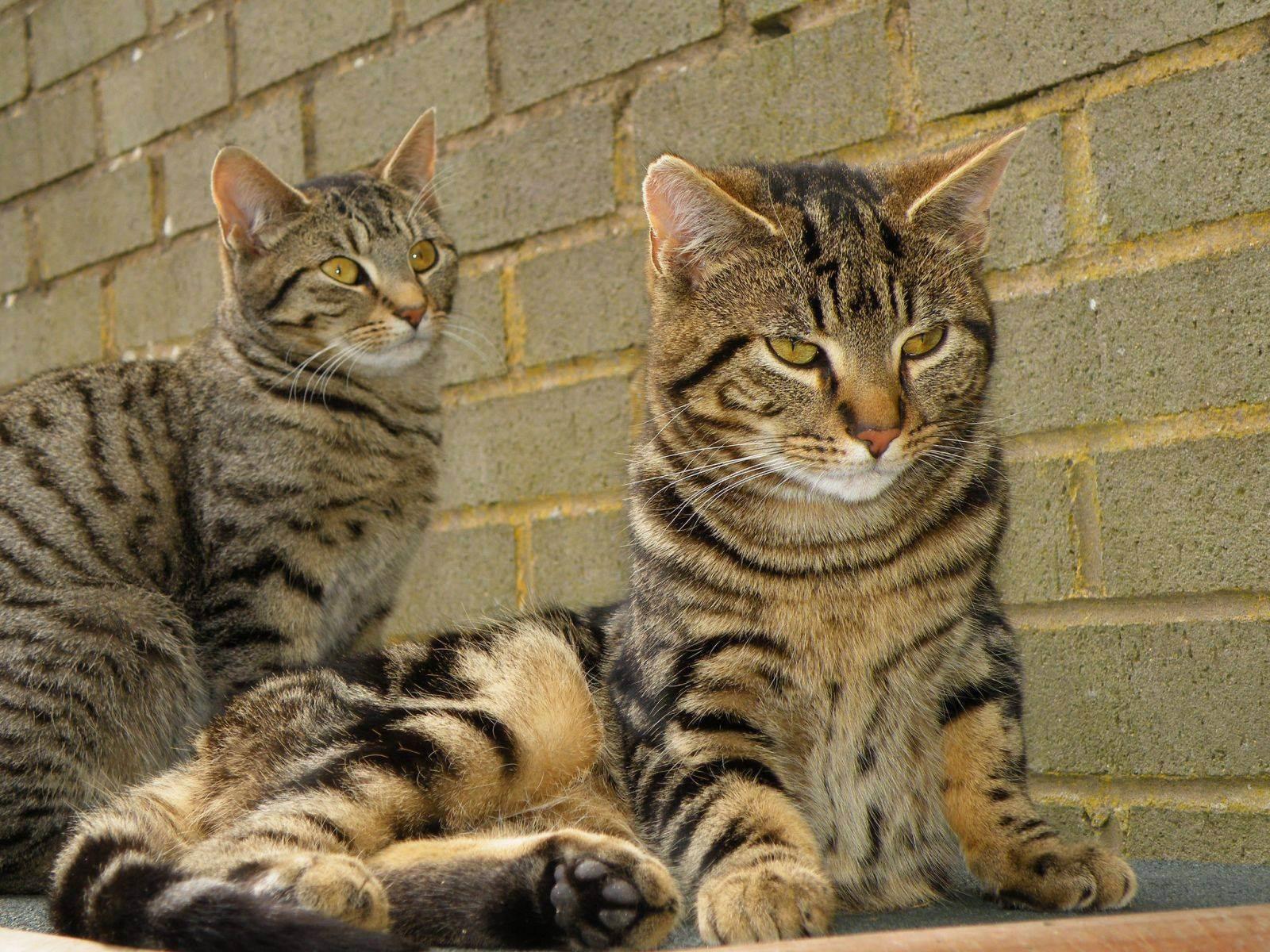 Окрас табби (тэбби) у кошек: виды и классификация, у каких пород встречается