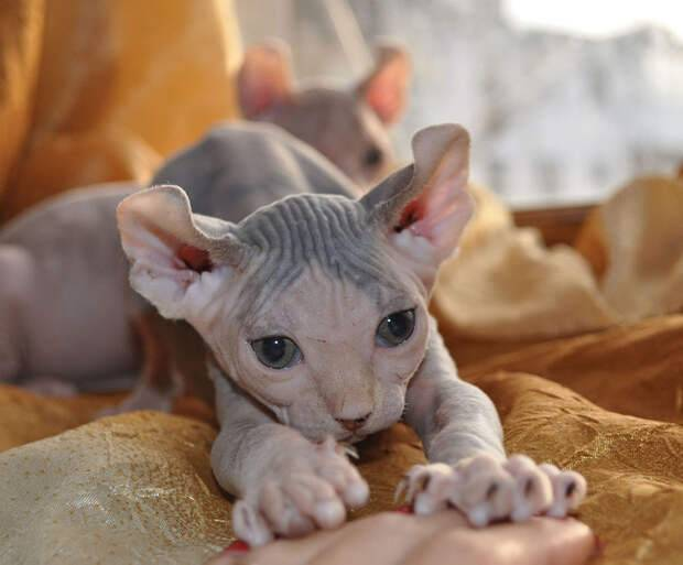 Кошки лысые: фото, история породы, уход и содержание