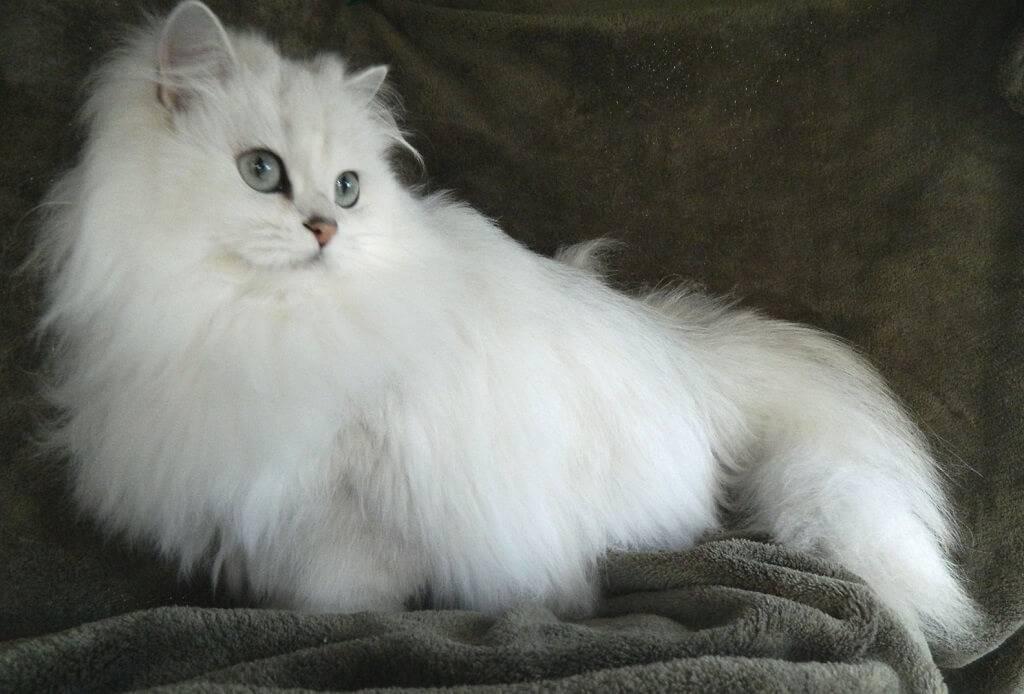 Пушистые кошки: самые красивые породы с длинной густой шерстью, описание и фото