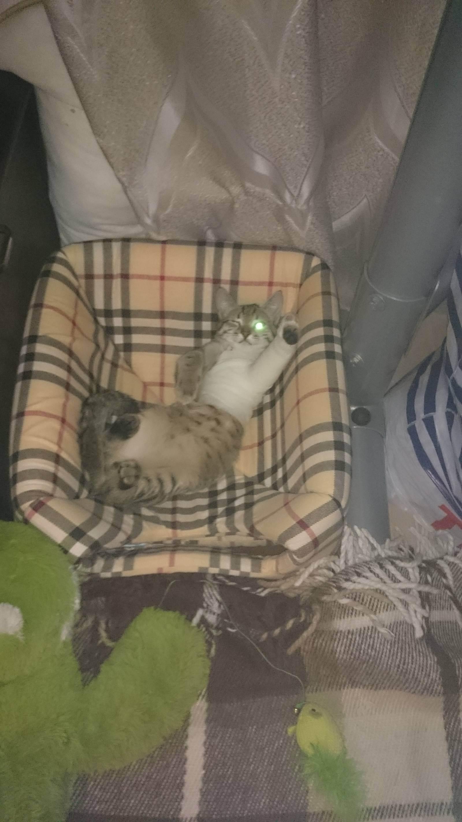 Падение с кошки большой высоты, травмы кошек, синдром падающих кошек, вывихи переломы у кошек после падения с высоты, первая помощь виды переломов, лечение кошек