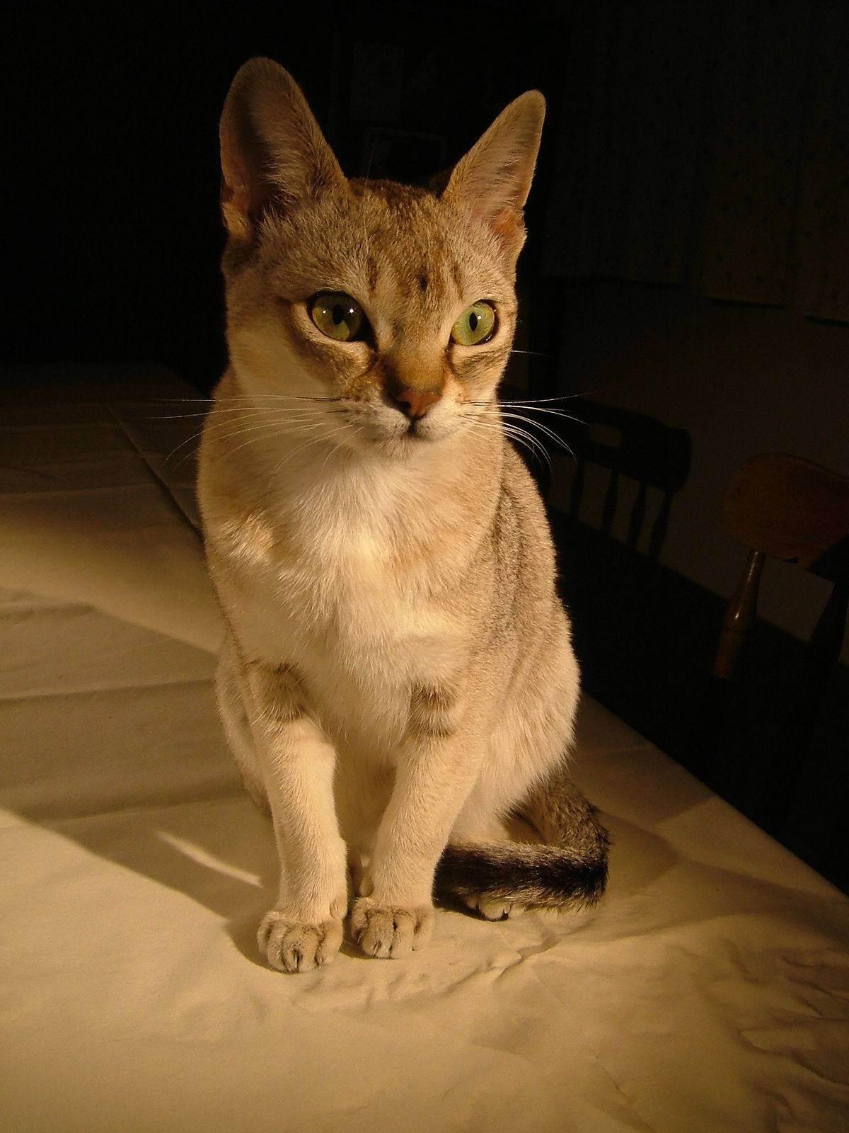 Сингапурская кошка: характер, фото, цена, описание породы, отзывы, как купить, как выбрать, содержание, уход и отзывы владельцев