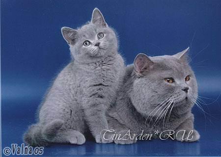 Узнайте сколько лет живут домашние британские кошки?