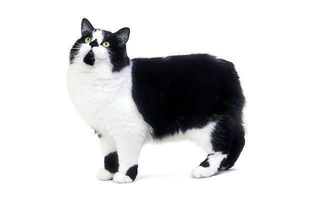 Кимрик или уэльская кошка