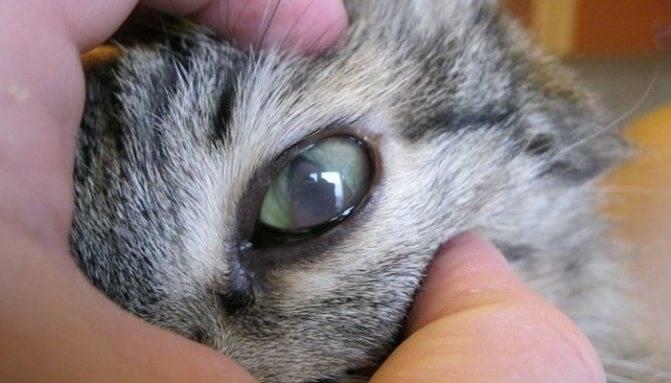 У британской кошки слезятся глаза — причины и что делать?