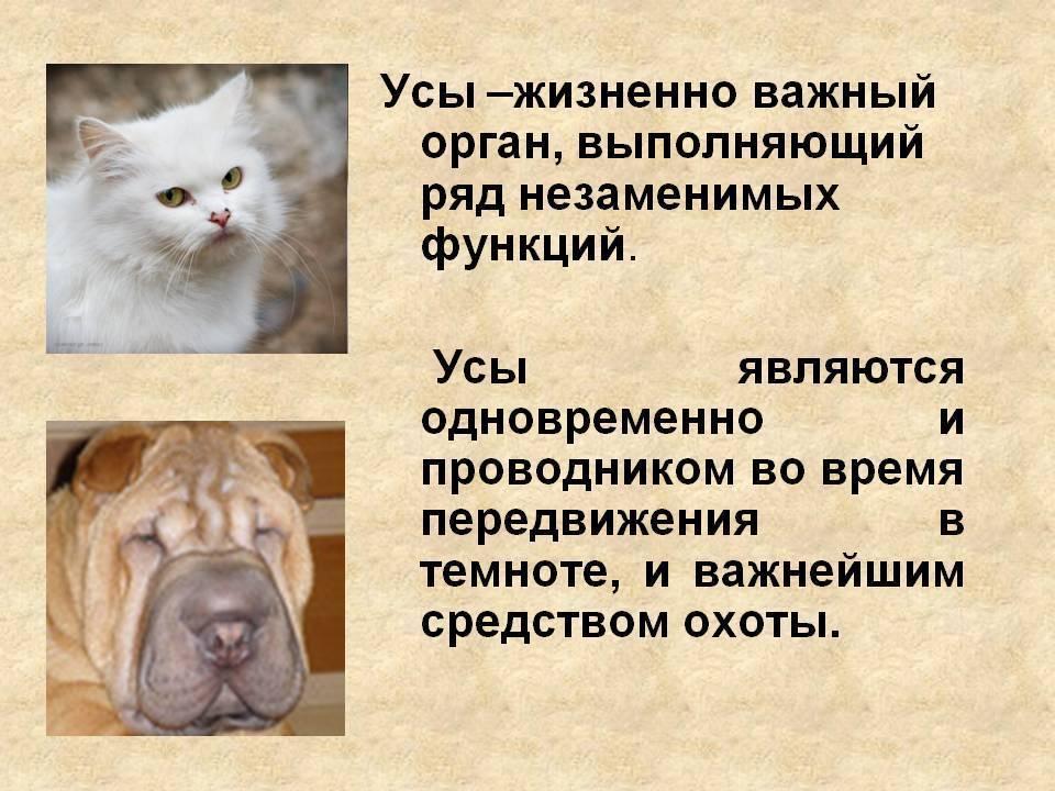 Зачем кошке усы (вибриссы) и что будет, если они повредятся?