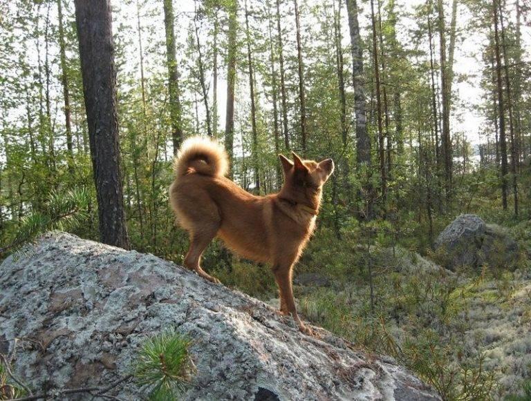 Карело-финская лайка — прирожденный охотник, верный друг и компаньон