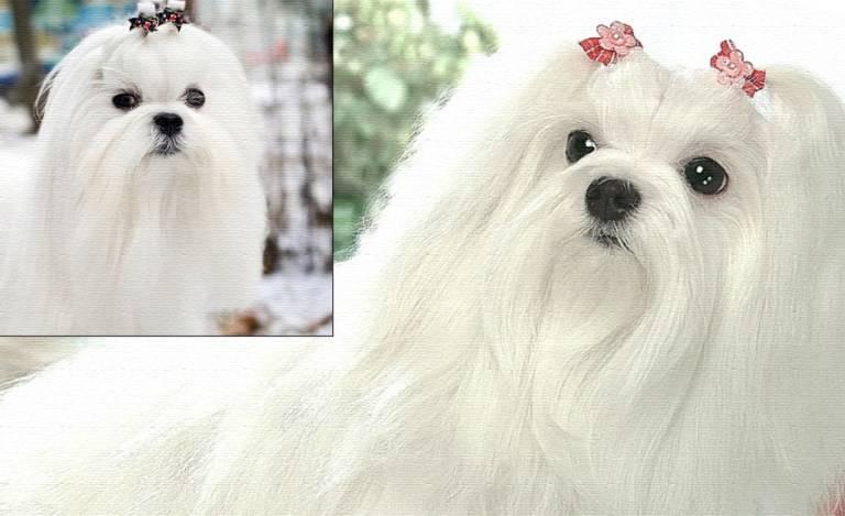 Болонка порода собак. описание, цена и уход за болонкой   животный мир