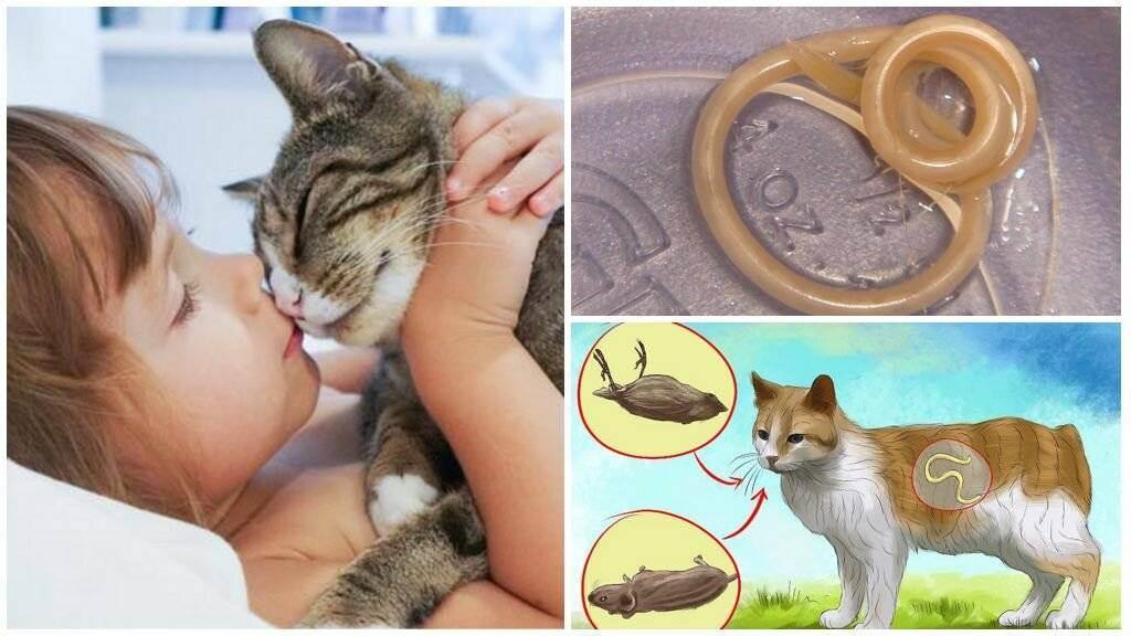 Можно ли заразиться глистами от кошки: пути заражения и наиболее опасные виды гельминтов