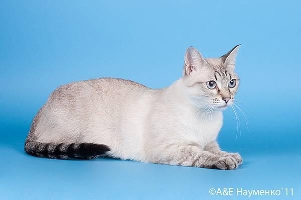 Окрас тайской кошки сил-тебби-пойнт: история выведения, стандарты и особенности, фото