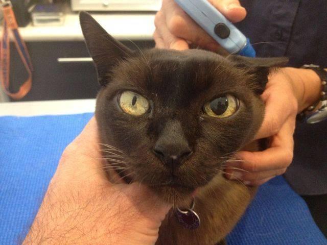 Анизокория у домашних кошек (распространение, этиология, патогенез, диагностика и терапия)