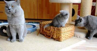 Кошки для аллергиков: выбираем породу