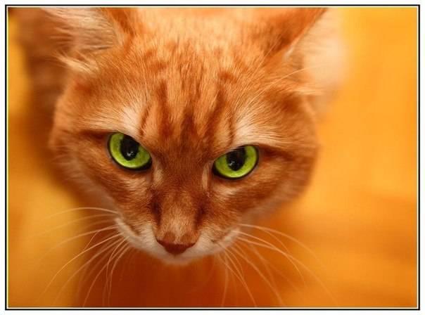 Рыжий кот в вашем доме: приметы - кошка – отличный талисман