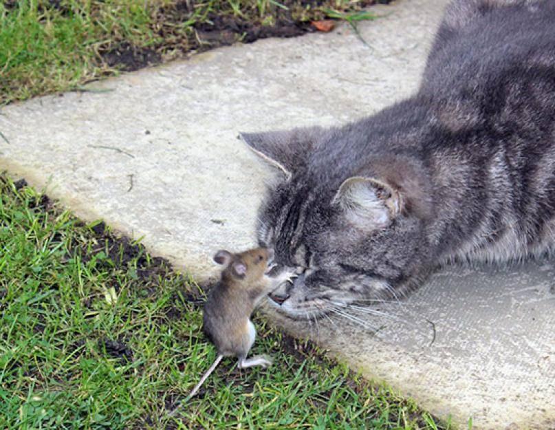 Кошка ест мышей – вредно или полезно? | энциклопедия домашних животных