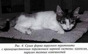 Фип у кошек | мои домашние питомцы