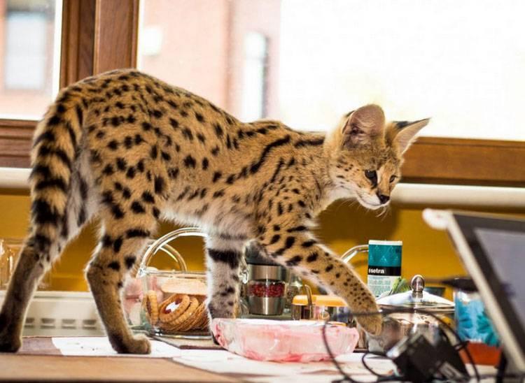 Африканская кошка сервал в доме