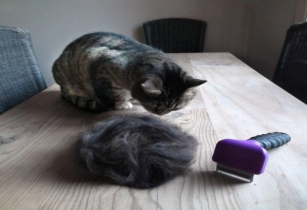 Британский кот сильно линяет - что делать?