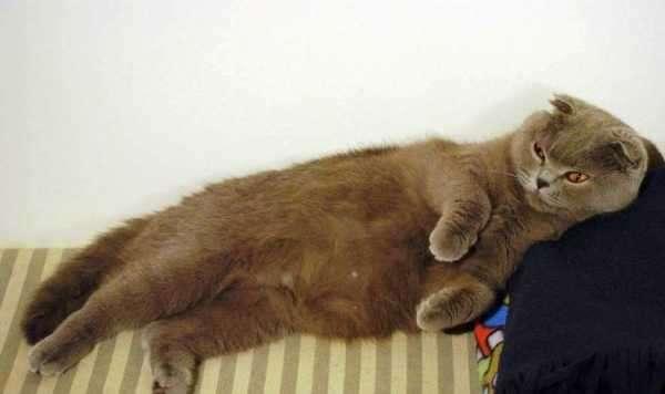 Сколько длится беременность у британской кошки, календарь окота кошек