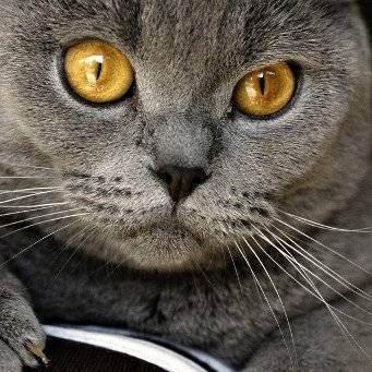 Почему слезятся глаза у британской кошки