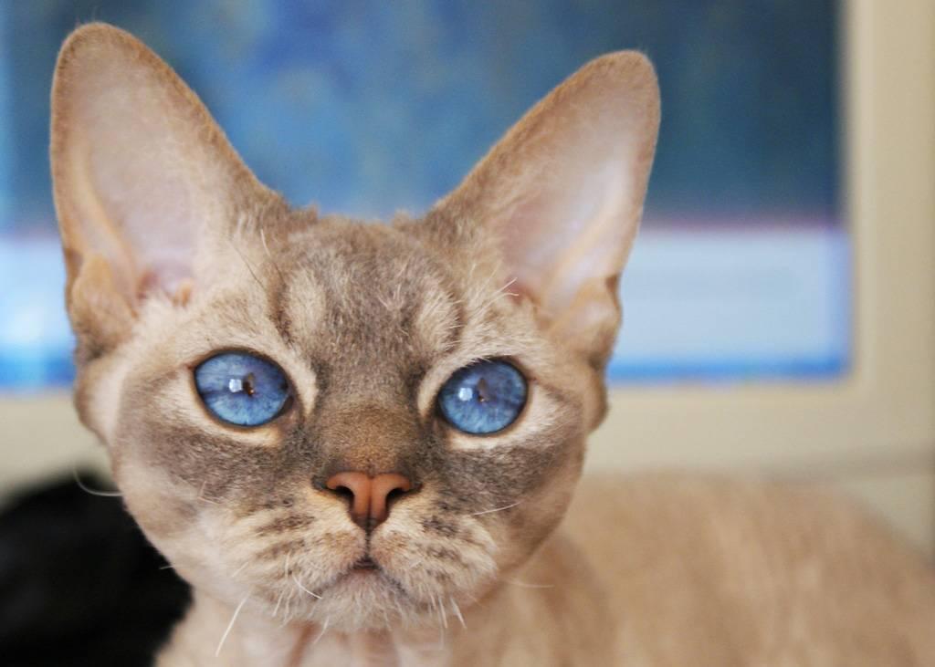 Кошки с большими глазами | породы большеглазых котов с фото и названиями