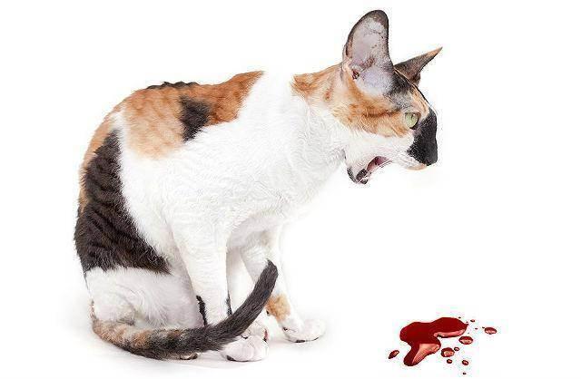 Кошку рвет второй день что делать. рвота с кровью у кошки: внутреннее кровотечение. кошку рвет жидкостью или пеной