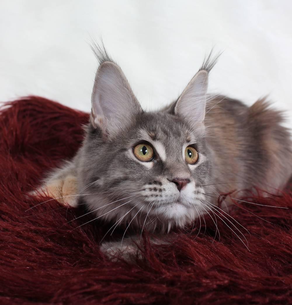 Полидактилия (гипердактилия) у кошек: многопалость, широколапость, много пальцев, что за отклонение?