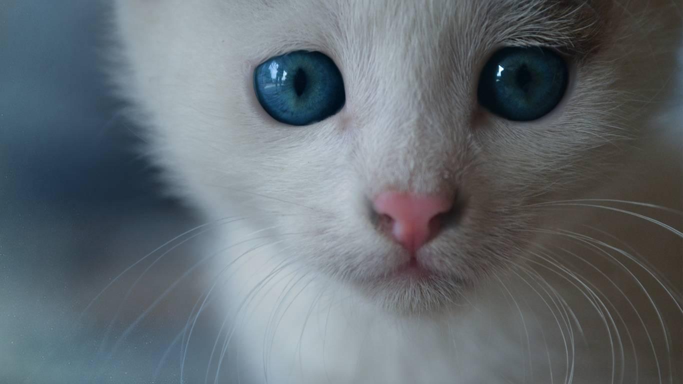 Породы голубоглазых кошек: могут ли быть голубые глаза у белых, черных, рыжих или серых котов?