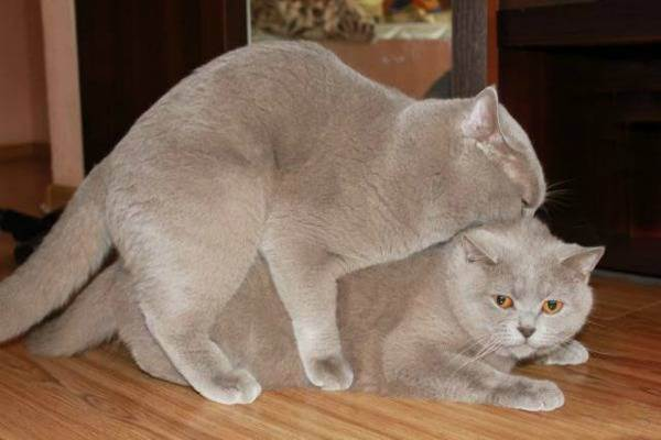 Сколько ходят беременные шотландские и британские кошки