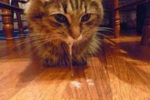 Симптомы и первые признаки бешенства у кошки на ранних сроках: какова опасность для человека