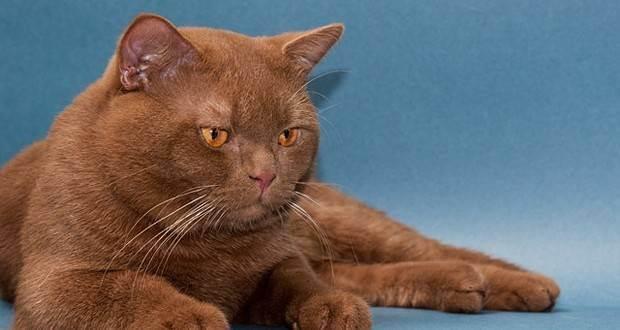 Можно ли делать прививку от бешенства кошке во время течки