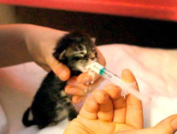 Чем и как кормить новорожденных котят без кошки